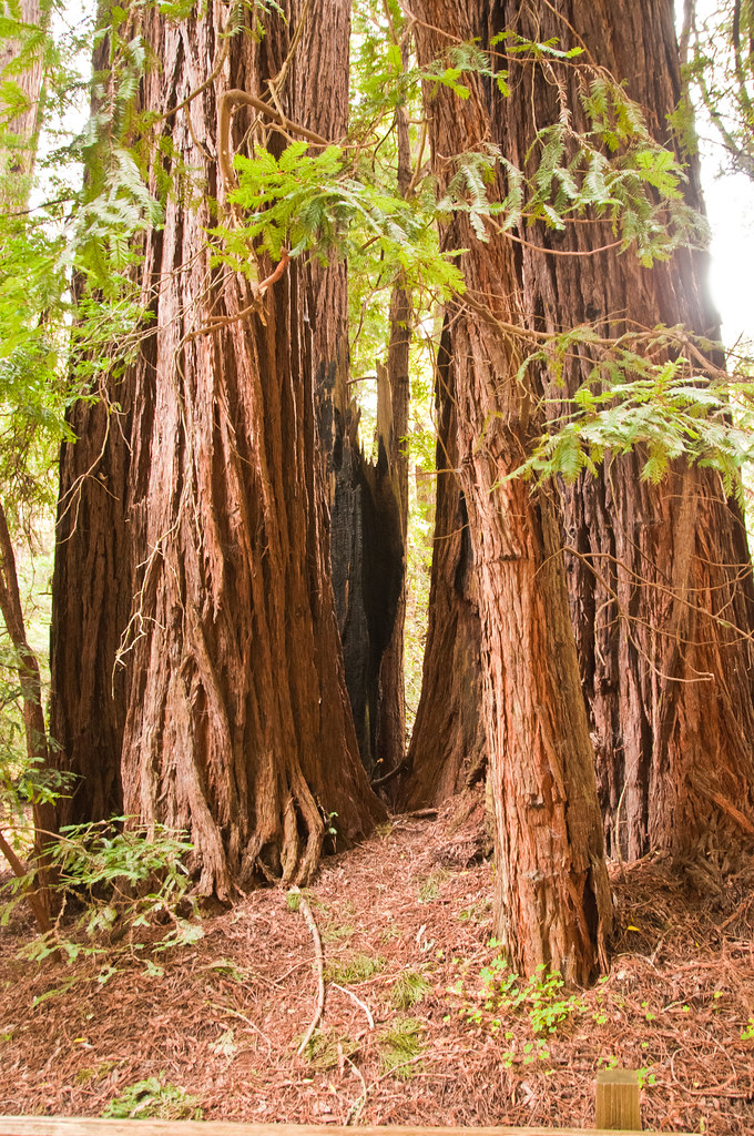 "A ""family group"" of redwoods"