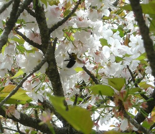 A bee amongst the cherry blossoms