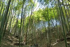 小机城址市民の森(孟宗竹の林)
