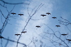 Goose migration