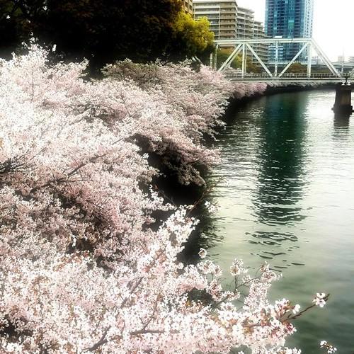 今日は、いいお花見日和でした。 みなさん、今日も一日、お疲れ様でした。 #sakura #evening