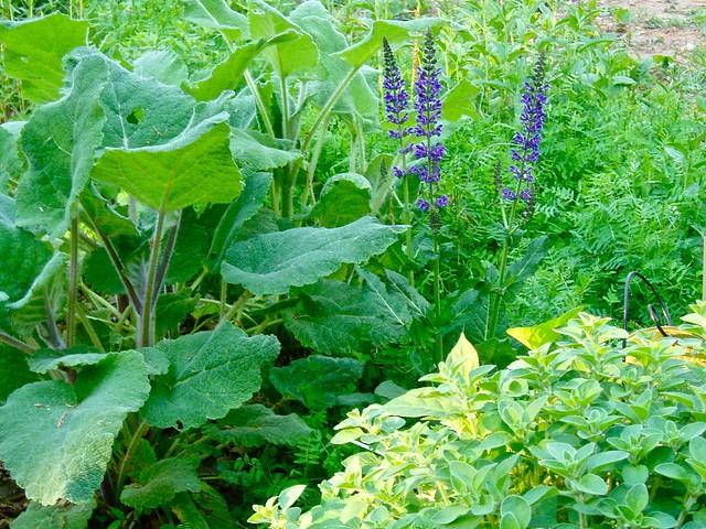 Open Lotus Garden Salvia