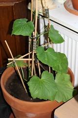 Komkommerplant update 04-06