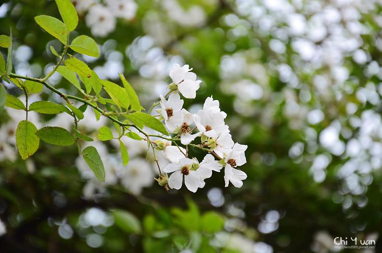 植物園野薔薇09.jpg