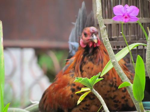 Ayam dan Anggrek