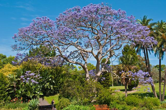 Jacaranda tree, Sydney Botanic Garden