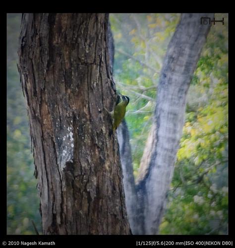 Streak-throated woodpecker   Kabini