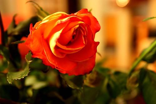 Roses are orange