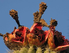 Ripe Saguaro fruits on Saguaro cactus; SE of S...