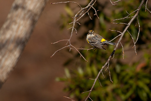 Getting the Badeye from a Yellow-rumped Warbler, by me