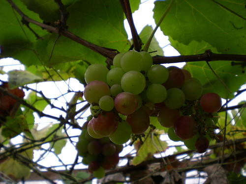 Cameron grapes