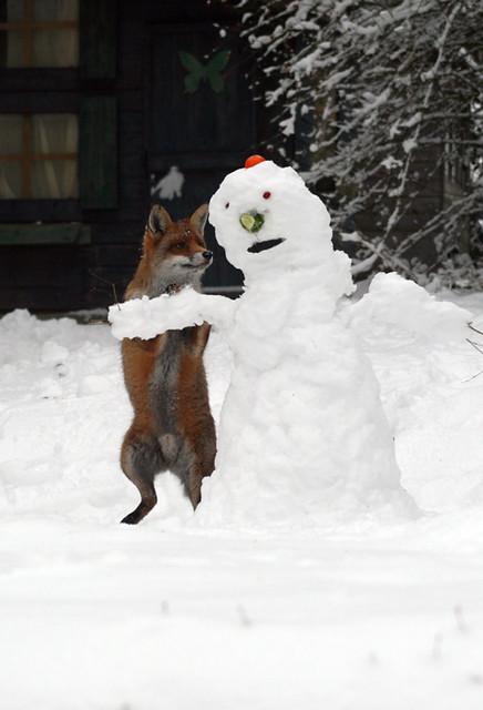 Fox attacks snowman