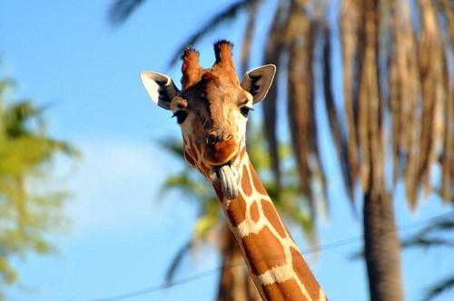 giraffe tongue!