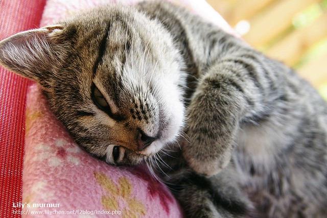 正在椅子上曬太陽舒服睡午覺的Mica,聽到我的快門聲而醒來。