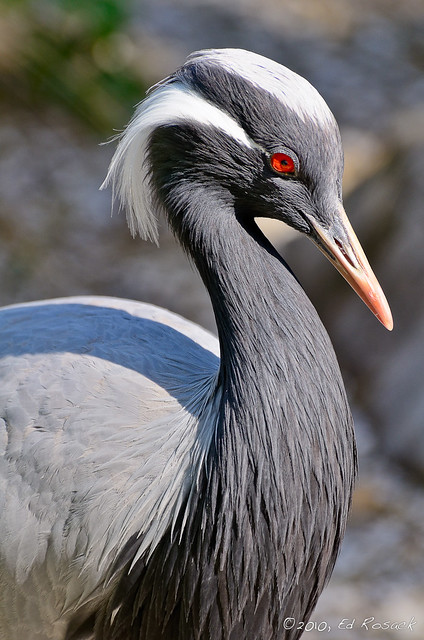 Demoiselle Crane - Anthropoides virgo