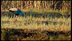 Indian Blue Peacock (Embedded Images Inside)