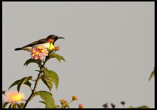 Purple-rumped Sunbird by Sushil