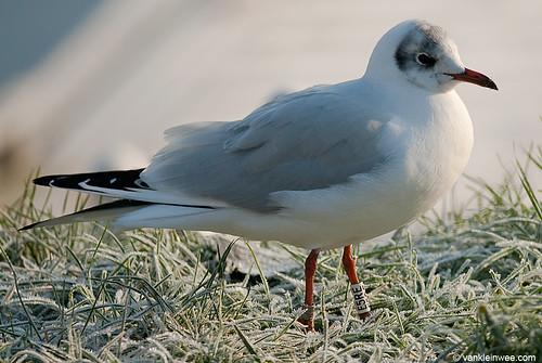 Black-headed Gull, adult, W[E5RE]