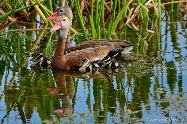 Whistling Duck Family