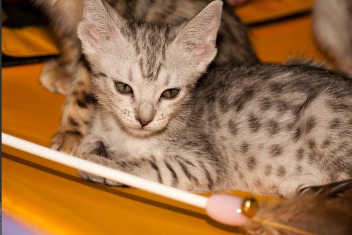 Бенгальские котята by Nickolas Titkov, on Flickr
