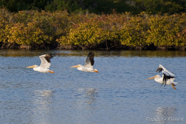 White Pelicans take off