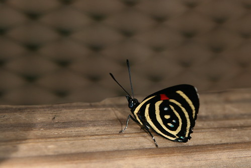 mariposa IV