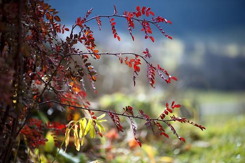 così leggiadra, l'autunno, la rosa hugonis