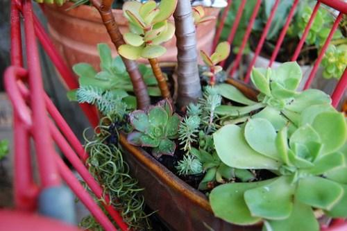 Aeonium lancerottense (small rosette left side)