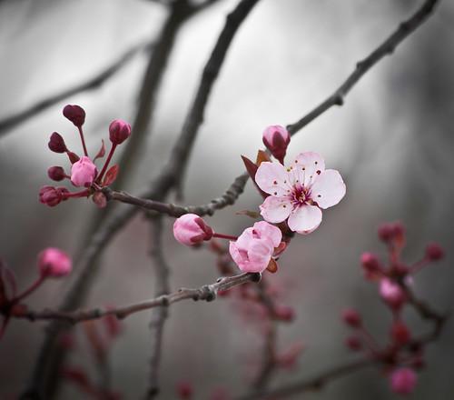Blossoms a Com'in