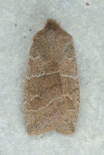 93-2591 - 9936 - Eupsilia morrisoni - Morrison's Sallow