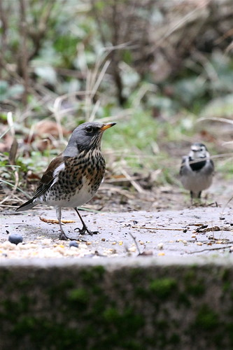 Fieldfare (and wagtail!)