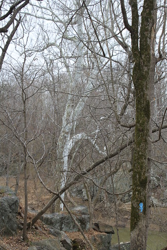 Billy Goat Trail - One of Many Majestic Sycamores