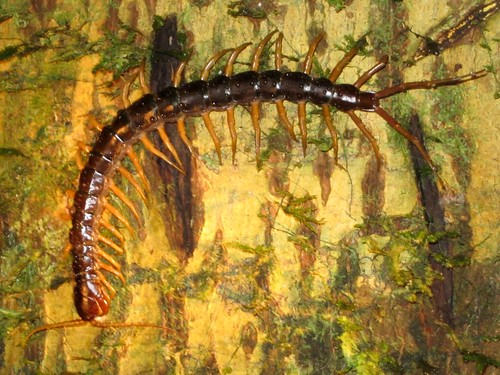 eric and i both had nightmares about this centipede.