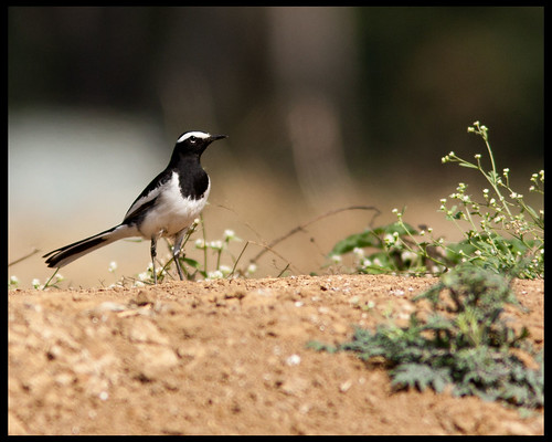 Large Pied Wagtail (Embedded Images Inside)