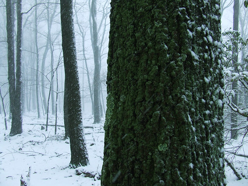 lichenous tree in snowstorm 4