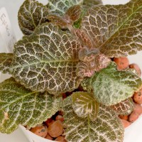 Episcia 'Jim's Patches' in Semi-Hydro