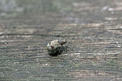 生田緑地のゾウムシの仲間(Beetle, Ikuta Ryokuchi Park, Kawasaki, Kanagawa, Japan, 2011)