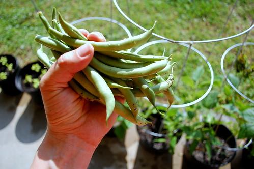 Bush beans.