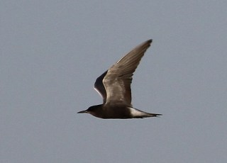 2011_06_15 PO - Black Tern (Chlidonias niger) by Mike at Sea
