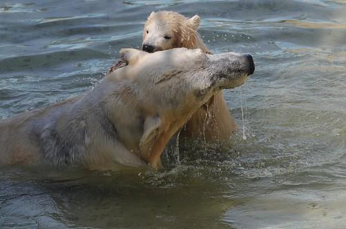 Eisbärin Blanche mit ihrem Jungtier Qannik in der Monde Sauvage Safari in Aywaille
