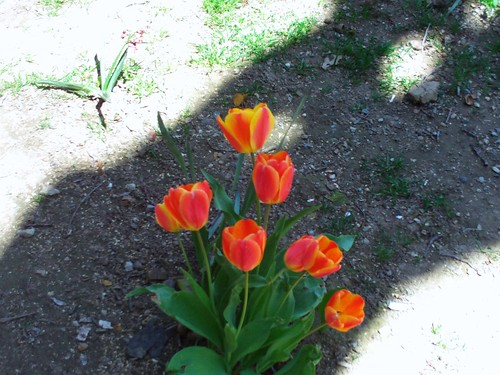 Red And Yellow Striped Tulips