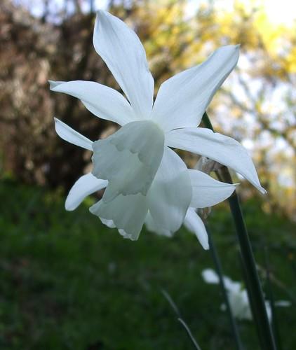 White Narcissi