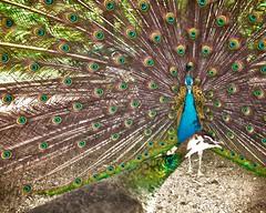 Peacock seduction