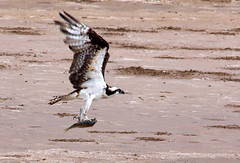 Osprey, Lower Rio Grande Valley National Wildl...