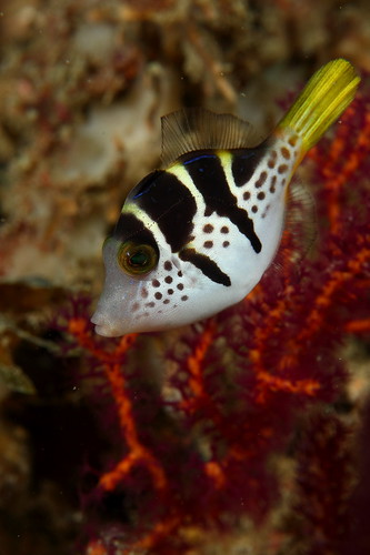 Paraluteres prionurus 副革單棘魨