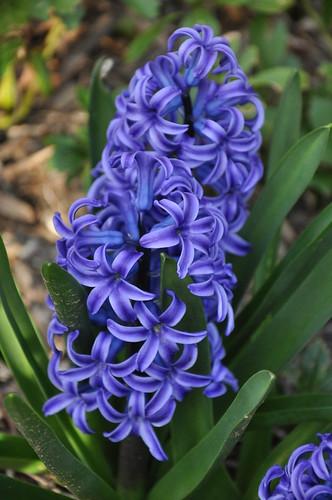 single hyacinth