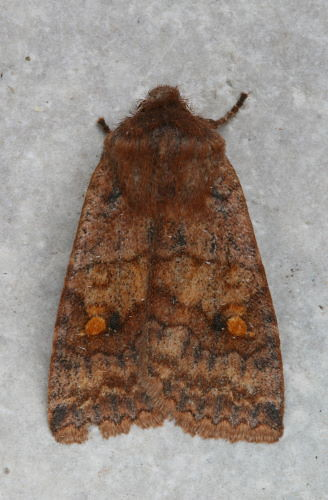Three-spotted Sallow, Eupsilia tristigmata