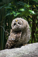 Young barred owl yoga by Matthew Paulson