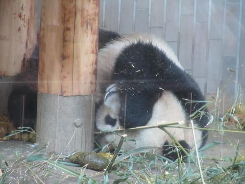 """Shin Shin"" the Giant Panda, Ueno Zoo"