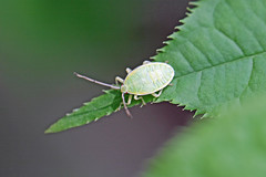 生田緑地のクヌギカメムシ(幼虫)(Stinkbug, Ikuta Ryokuchi Park, Kawasaki, Kanagawa, Japan, 2011)